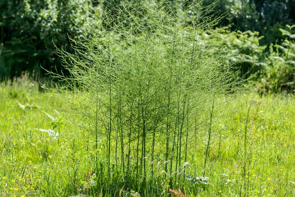 Wild-asparagus-Plant