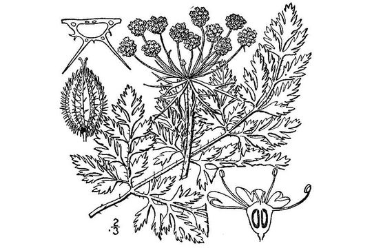 Sketch-of--Wild-Carrot-plant