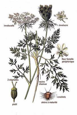 Wild-Carrot-plant-Illustration