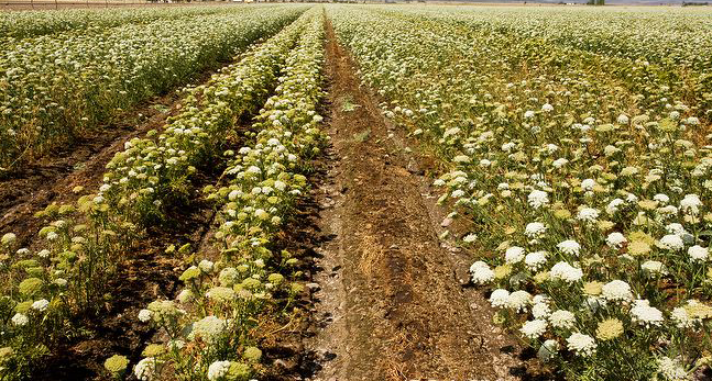 Wild-carrot-grown-on-Farm