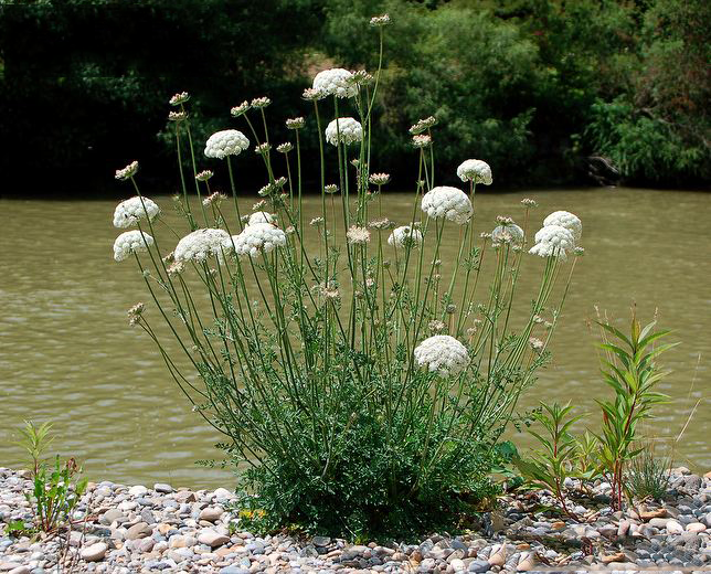Wild-carrot-plant