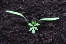 Sapling-of-Wild-Carrot