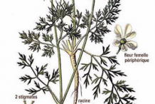 Wild-Carrot-plant-Illustration