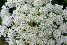 Wild-Carrot--Flower