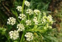 Flower-of-wild-Celery