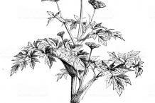 Sketch-of-wild-Celery