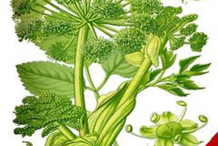 Plant-Illustration-of-Wild-Celery