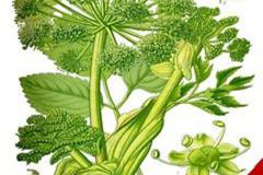 Plant-Illustration-of-Wild-Celery