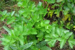 Wild-Celery-Plant