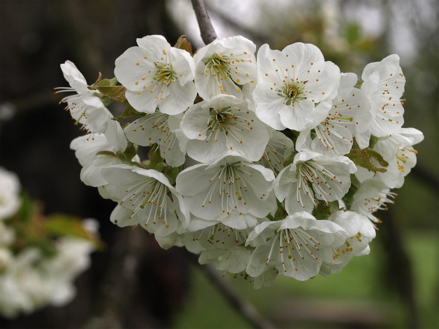 Close-up-flower-of-Wild-cherry