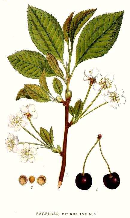 Plant-illustration-of-Wild-cherry