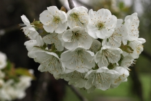 Close-up-flower-of-Wild-cherry