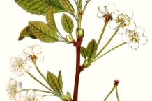Plant-illustration-of-Wild-cherry