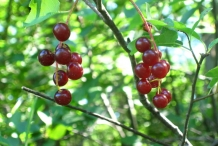 Wild-cherry-fruit