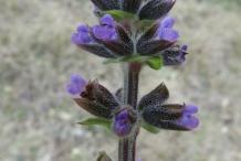 Wild-Clary-flower