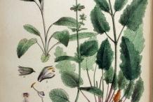 Plant-Illustration-of-Wild-Clary