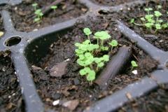 Seedlings-of-Wild-Sage