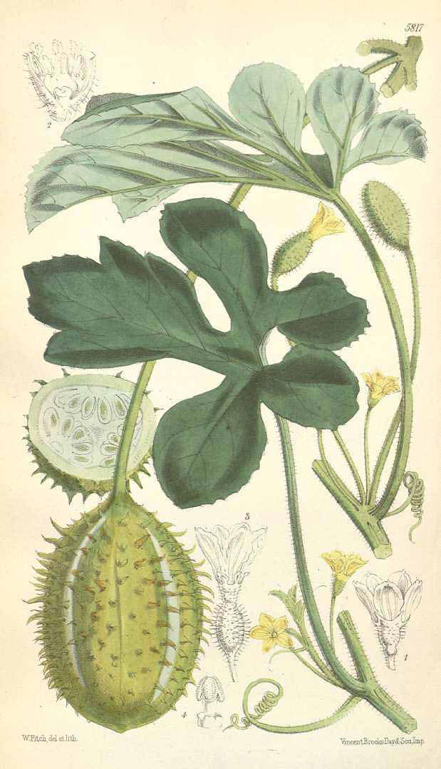 Plant-Illustration-of-Wild-cucumber
