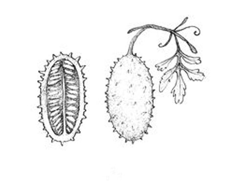 Sketch-of-Wild-cucumber