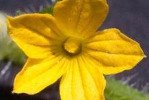 Flower-of-Wild-Cucumber