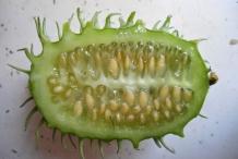 Half-cut-Wild-cucumber