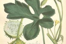 Plant-Illustration-of-Wild-cucumber
