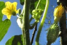 Stem-of-Wild-cucumber