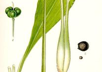 Plant-Illustration-of-Wild-Garlic