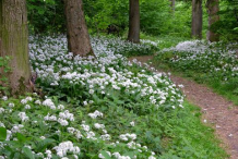 Wild-Garlic-plant-Growing-Wild