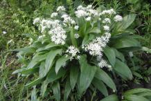 Wild-Garlic-plant