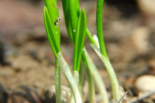 Seedlings-of-Wild-Garlic
