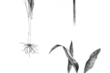 Wild-Garlic-Sketch
