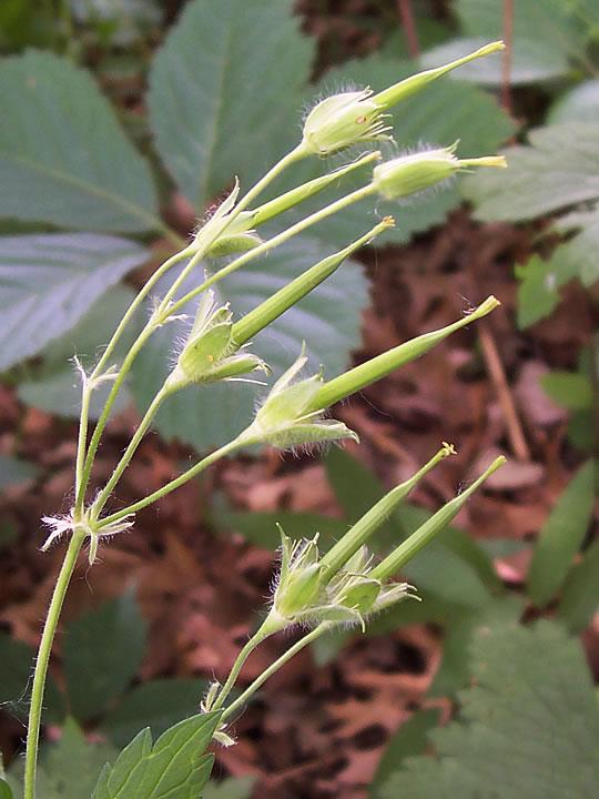 Immature-fruit-of-Wild-Geranium