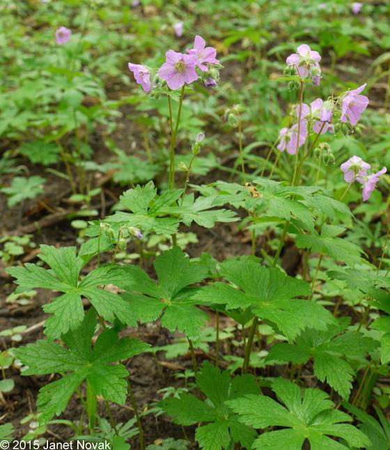 Wild-Geranium-Plant-growing-wild