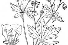 Sketch-of-Wild-Geranium
