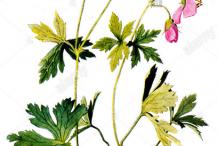 Plant-Illustration-of-Wild-Geranium