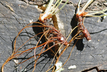 Root-system-with-long-thin-rhizomes