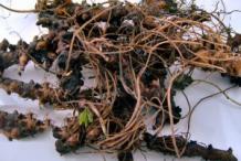 Wild-Geranium-Root-Collected