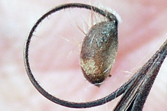 Individual-seed-with-fine-surface-hair-of-Wild-Geranium