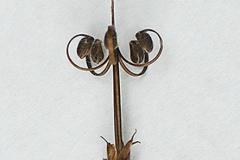 Wild-Geranium-Seedhead-at-full-maturity