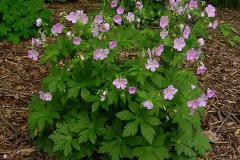 Wild-Geranium-plant