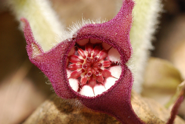Closer-view-of-Wild-ginger-flower