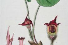 Plant-Illustration-of-Wild-Ginger