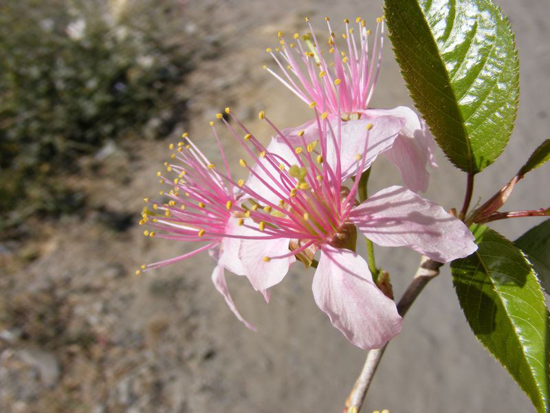 Flower-of-Wild-Himalayan-cherry