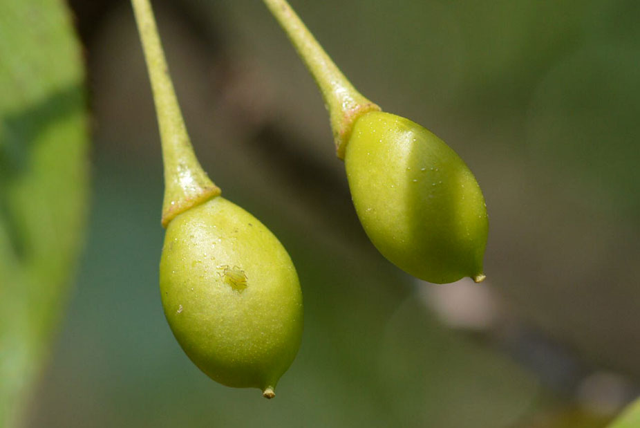 Immature-fruit-of-Wild-Himalayan-cherry