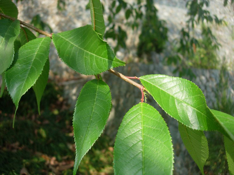 Leaves-of-Wild-Himalayan-cherry