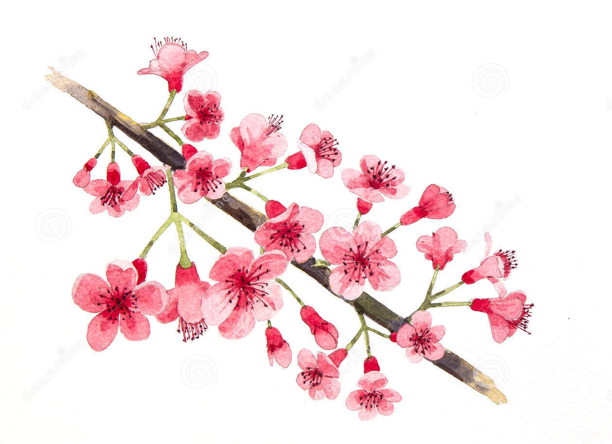 Sketch-of-Wild-Himalayan-cherry