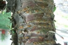 Bark-of-Wild-Himalayan-cherry
