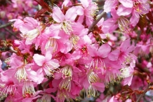 Flowering-bunch-of-Wild-Himalayan-cherry
