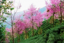 Wild-Himalayan-cherry-plants